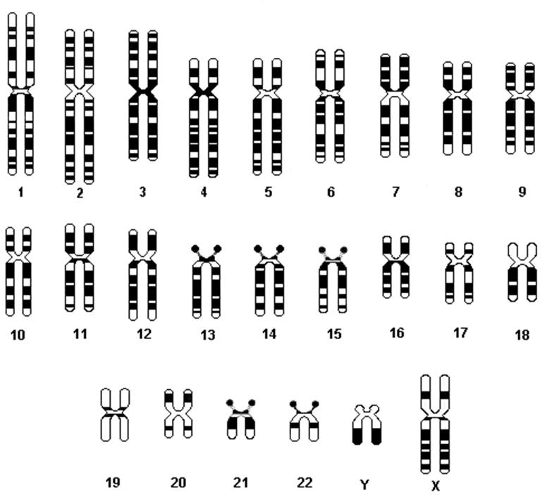 FileChromosomesjpg WikiChristian – Chromosome Worksheet Answers